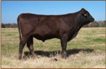Wagyu bulls for sale